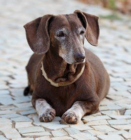 15 Dog Breeds That Live The Longest Dog Breeds Dachshund Love