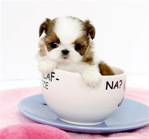 Image Result For Teacup Shih Tzu Puppies Shih Tzu Puppy Teacup Puppies Shih Tzu