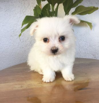 Maltese Puppy For Sale In Los Angeles Ca Adn 63806 On