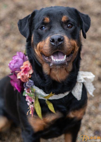 Adopt Zelda On Doberman Rescue Rottweiler Dog Dogs
