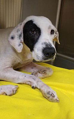 Pictures Of Bessie A Pointer For Adoption In New York Ny Who Needs A Loving Home Dog Adoption Cat Adoption Nyc Dogs