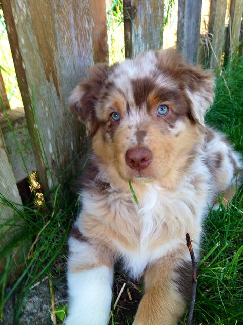 Australian Shepherd Puppy Painting Stunning Aussie Shepherd Size Source by CodiJCM The post Stunning Aussie Shepherd Size appeared first on Welch Puppies. Australian Shepherd Puppies, Aussie Puppies, Mini Australian Shepherds, Australian Shepherd Blue Eyes, Aussie Shepherd Puppy, Corgi Puppies, Super Cute Puppies, Cute Dogs And Puppies, Doggies