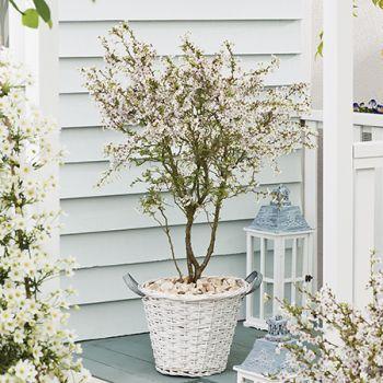 4ft Fuji Dwarf Cherry Blossom Tree 11 5l Pot Prunus Incisa Kojo No Mai By Frank P Matthews 80 99 Cherry Blossom Tree Flowering Cherry Tree Blossom Trees