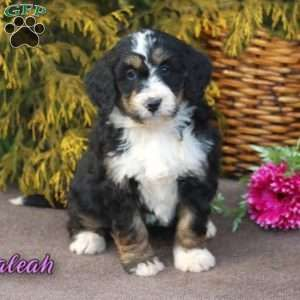 Bernedoodle Puppies For Sale Bernedoodle Puppy Puppies Greenfield Puppies