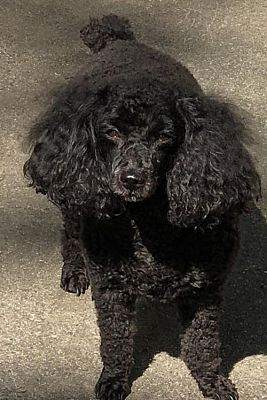Pictures Of Pippa A Poodle Miniature For Adoption In Fort Wayne