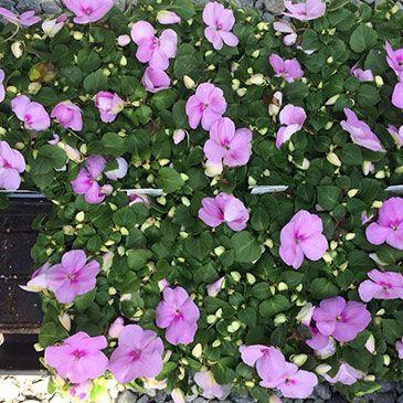 Annuals Archives Hyannis Country Garden Country Gardening Garden Garden Center