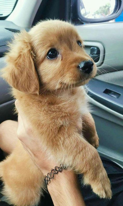 Some of the things we all adore about the Outgoing Golden Retriever Pups #goldenretrieverpuppy_ #goldenretrieversmile #redgoldenretriever