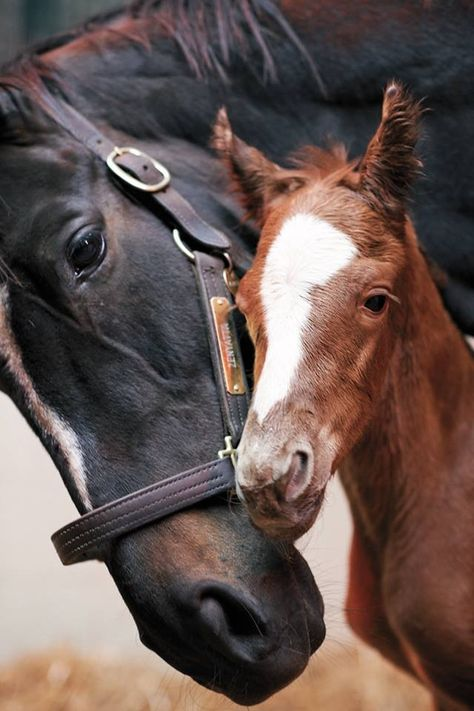 My favorite mare and colt capture. Zenyatta with her colt, born April Photo by Kyle Acebo All The Pretty Horses, Beautiful Horses, Animals Beautiful, Beautiful Beautiful, Zebras, Horse Pictures, Animal Pictures, Animals And Pets, Cute Animals