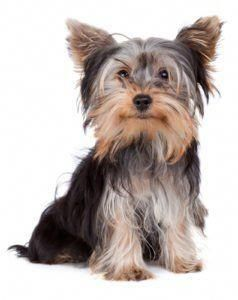 Yorkshire Terrier Dog Breed Lifespan Yorkshires Yorkie Dogs Yorkie Names Small Dog Names