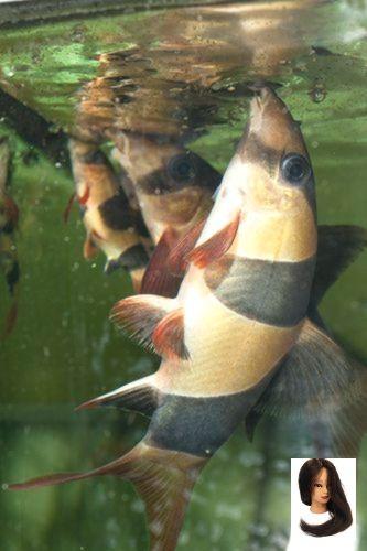 Caresheet Clown Loach Caresheet Clown Loach Clown Loach Care Aquarium Fish Tropical Fish Aquarium Clown Loach