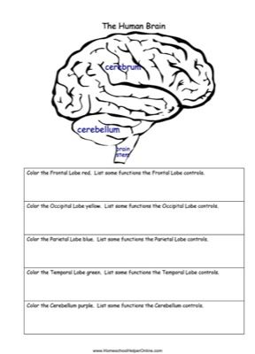 Color Parts Of The Brain And Answer Questions About Some Of The Different Brain Parts In This Free Human Brain Free Homeschool Printables Homeschool Worksheets