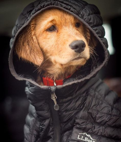 Distinguished winter warmth for every member of your family. #BeanOutsider (Photo: Instagram's mikehosier) L.L.Bean Ultalight 850 Down Hooded Jacket #LLBeanPets