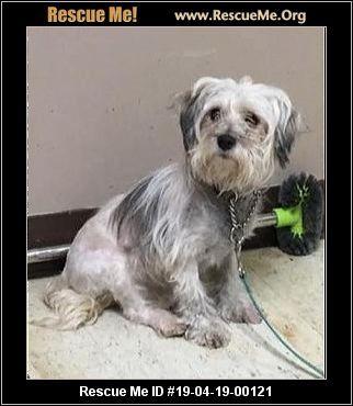 Ohio Poodle Rescue Adoptions Rescue Me Dog Personality