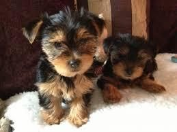 Beautiful Male And Female Yorkie Puppies Spring Tx 77373 Usa Yorkie Puppy Yorkie Puppy For Sale Yorkshire Terrier