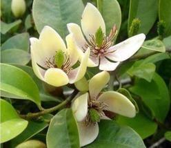 20 Magnolia Michelia Tree Seeds Many Kinds Aromatic Ornamental Plant in Garden