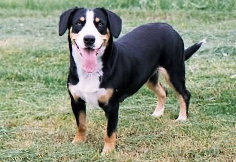 Appenzeller Sennenhund Pictures And Images