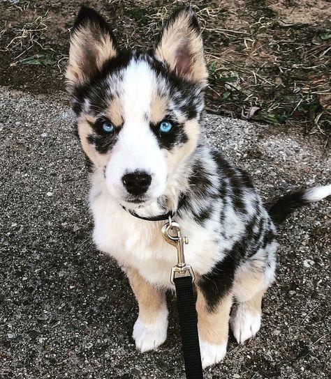 Australian Shepherd Dog Breed Information Popular Pictures Cute
