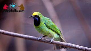 Ciri Ciri Burung Cucak Ijo Sumatera Jalak Burung Suara