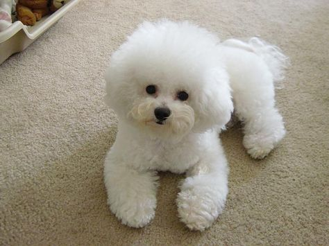 фризе собака фото