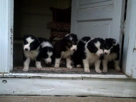 Border Collie Puppies For Sale Www Facebook Com Buddyandteddypuppies Collie Puppies For Sale Collie Puppies Border Collie Puppies
