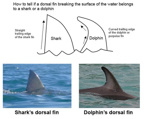 Difference Between Shark And Dolphin Fins  Marine Mammals