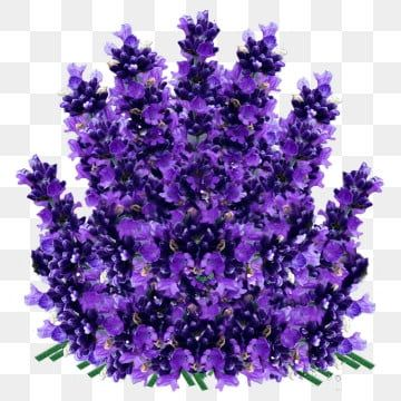 Lavender Flower Lavender Flower Clipart Png Transparent Clipart Image And Psd File For Free Download In 2020 Flower Clipart Png Flower Clipart Lavender Flowers