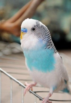 You Must Read This Before Buying A Budgie Budgies Parakeets As