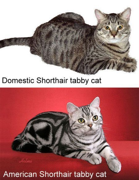 The Comparison Of An American Shorthair And A Domestic Shorthair American Shorthair Cat American Shorthair Purebred Cats