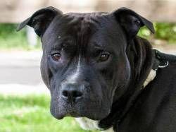 Rusty 1054 S 19 In 2020 Pitbull Mischling Staffordshire Terrier Hunde