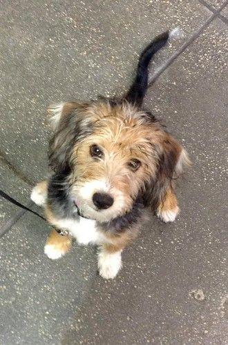 Blue Heeler Beagle Mix Adoption In 2020 Terrier Poodle Mix Terrier Mix Dogs Poodle Mix