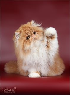 Pin By Cheryl Smyth 2 On Persian Cat And Kitten 2 Cute Cats