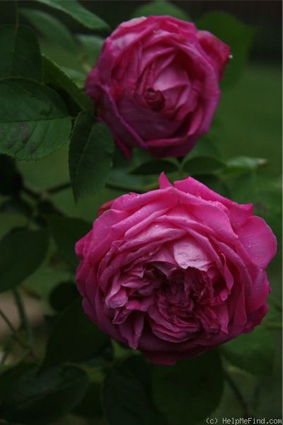 Anna De Diesbach Rose Rosen Blumen Englische Rosen