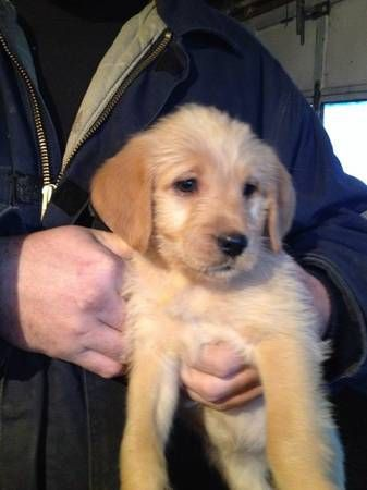 Labradoodle puppies - $400 (Valley City) Labradoodle ...