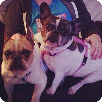 Columbus Oh French Bulldog Meet Sophie Bonded Pair With Gus A Dog For Adoption Http Www Adoptapet Com Pet 12336917 C With Images French Bulldog Dog Adoption Pets