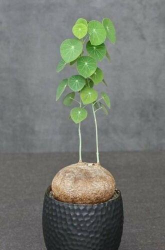 Stephania erecta Craib 1 Bulbs 7.5 Cm Bonsai Succulent Indoor Wild Plant No 102