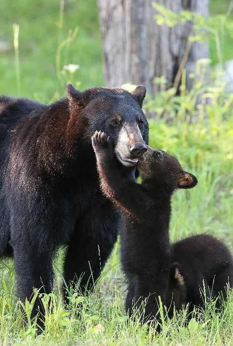 Mama Black Bear getting affection from her Cubs :-) Bear Pictures, Cute Animal Pictures, Cute Funny Animals, Cute Baby Animals, Nature Animals, Animals And Pets, Beautiful Creatures, Animals Beautiful, Bear Cubs