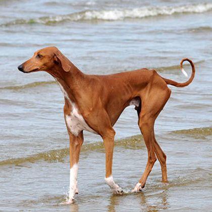 Azawakh Dog Breed Information Por