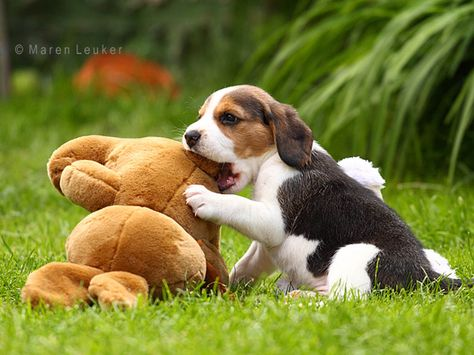 Beagle Puppies Google Search Puppy Dog Pictures Beagle Puppy Dogs And Puppies