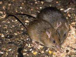 Bush Rat Google Search Bush Rat Rats Bush
