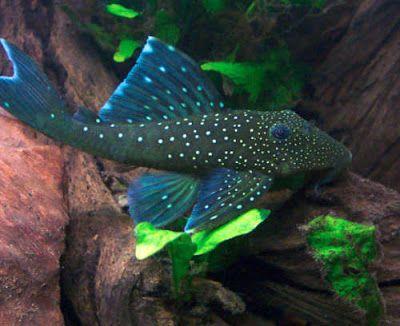 Pin By Betta Fish Community On Fish Frenzy Pleco Fish Fish Cool Fish