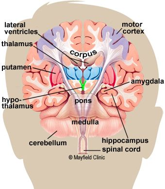 Color illustration, coronal cross-section showing the basal ganglia. Brain Anatomy And Function, Human Brain Anatomy, Human Anatomy And Physiology, Body Anatomy, The Human Brain, The Brain, Nerve Anatomy, Human Body, Brain Science