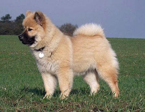 Eurasier Eurasier Hunde