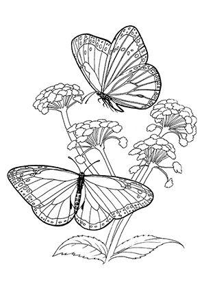 Ausmalbild Schmetterlinge Auf Bluten Zum Kostenlosen Ausdrucken Und Ausmalen Fur Kinder Ausmalbilder Malvo Ausmalbilder Schmetterling Ausmalen Ausmalbild