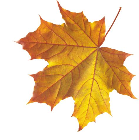 Pin By Elvira Fabala On Leaf Autumn Leaves Art Fall Leaves Png Autumn Leaves