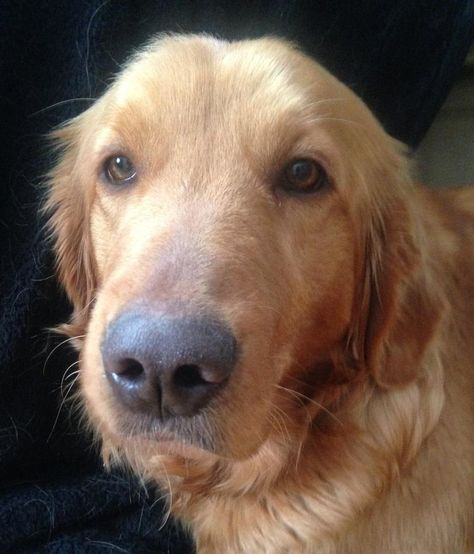 Adopt Mason On Golden Retriever Rescue Dogs Australian Cattle Dog