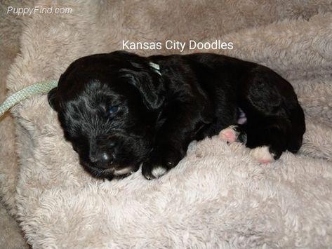 Bernedoodles For Sale In Missouri