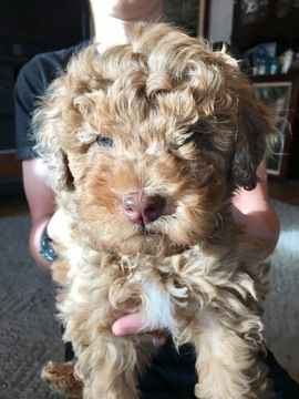 Litter Of 8 Aussiedoodle Poodle Miniature Mix Puppies For Sale