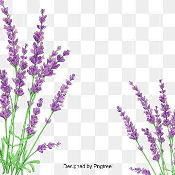 Lavender Flowers Lavender Petals Plants Herbaceous Png Transparent Clipart Image And Psd File For Free Download In 2020 Lavender Plant Flower Images Lavender Petals