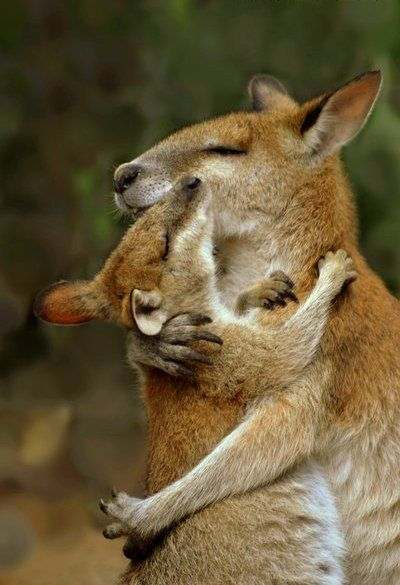 Moments Tendres de Chats, Chiens et autres Animaux qui se font des Câlins – Ici… Tender Moments of Cats, Dogs and Other Cuddling Animals – Here, a Kangaroo and its cub