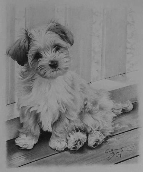 Havanese Puppy Sketch Havanese Dogs Havanese Puppies Puppy Sketch